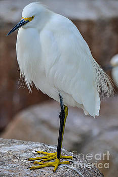 Snowy Egret by SoxyGal Photography