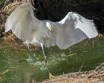 Snowy Egret with Fish 6896-041419 by Tam Ryan