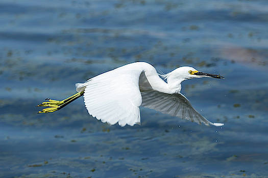 Snowy Egret with Snack by Darrell Gregg