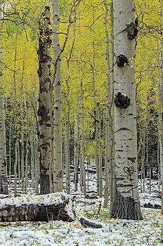 Snowy Gold Aspen by Gaelyn Olmsted