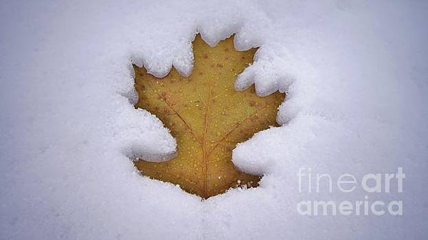 Snowy Oak Leaf by Tony Lee