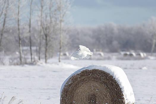 Susan Rissi Tregoning - Snowy Owl Hunting