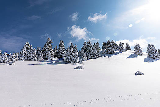 Snowy Pine Trees by Lenochka Blonsky