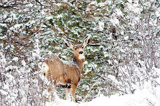 Steve Krull - Snowy Portrait of a Mule Deer Doe