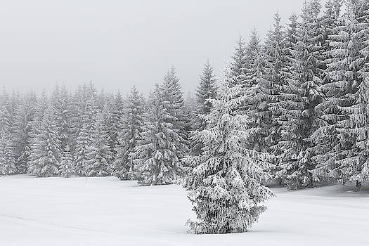 Snowy trees - 12 by Paul MAURICE