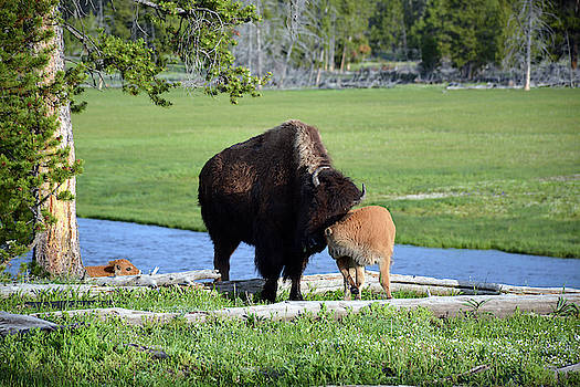 Snuggling Bison and Calf in Yellowstone by Bruce Gourley