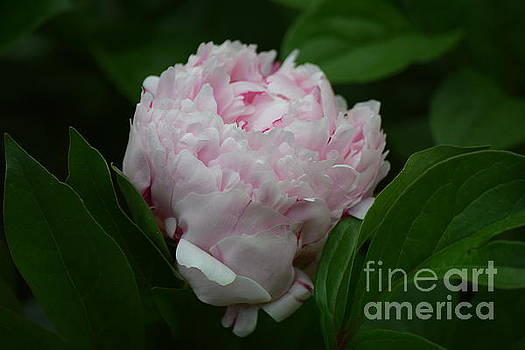 Blooming Pink Petals  by Jeannie Rhode
