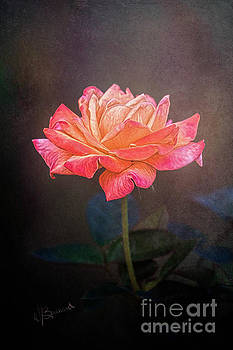 Soft Coral Rose by Warrena J Barnerd