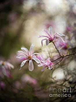 Soft Magnolia Blooms by Mike Reid
