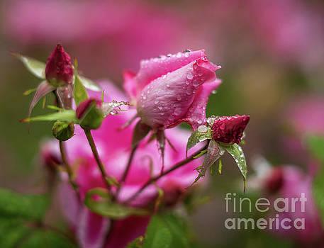 Soft Pink Roses Waterdrops by Mike Reid