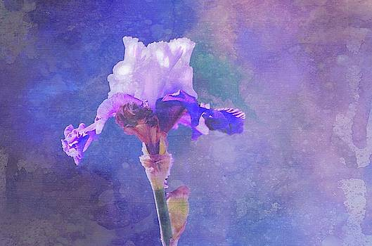Soft Purple Iris by Linda Cox