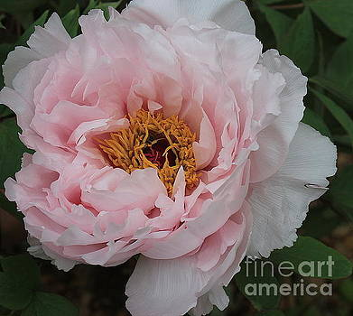 Softly in Pink - Peony by Dora Sofia Caputo Photographic Design and Fine Art
