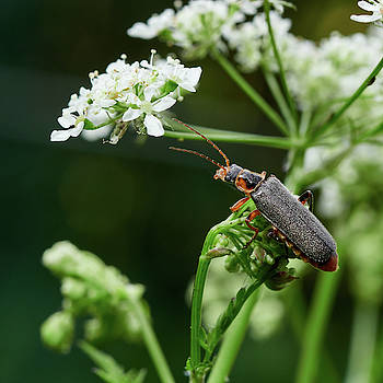 Soldier beetle on a cow parsley by Jouko Lehto