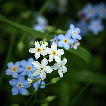 Some white some blue. Water Forget-me-not 4 by Jouko Lehto