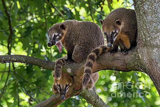 South American Coati Family by Arterra Picture Library