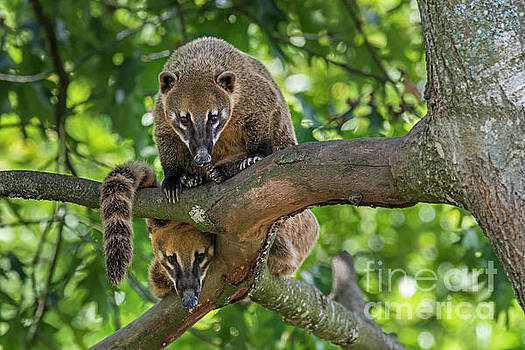 South American Coatis by Arterra Picture Library