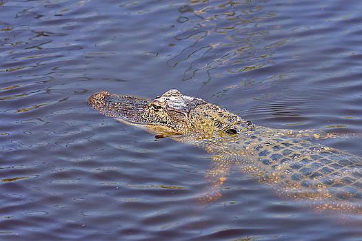 South Padre Island American Alligator by Debra Martz