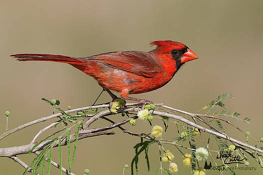 South Texas Cardinal by David Cutts