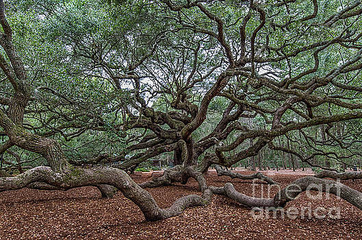 Dale Powell - Southern Angel Oak Tree near Charleston South Carolina