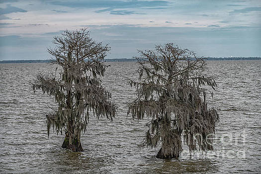 Southern Bald Cypress Tree's - Lake Moultrie by Dale Powell