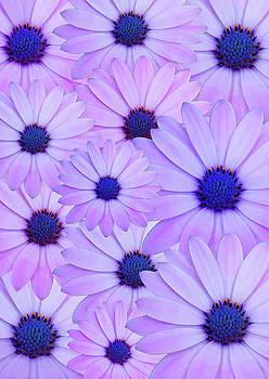 Spanish Daisy Flowers Photoart by Johanna Hurmerinta