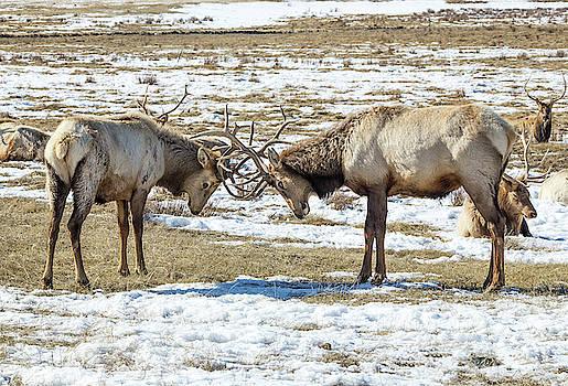 Sparring Elk by Michael Chatt