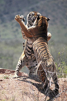 Sparring Tigers by Fred Hood