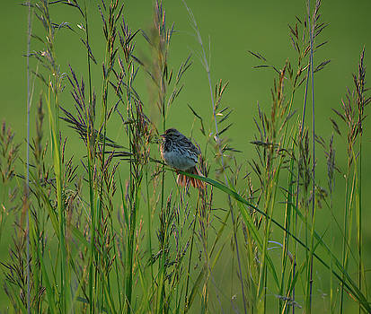 Sparrow in the Grass by Whispering Peaks Photography