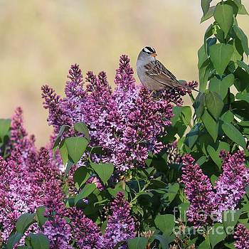 Sparrow in the Lilacs by Carol Groenen