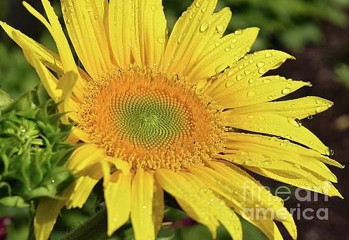 Cindy Treger - Spectacular Sunflower