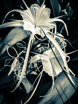 Spider lily by AE collections