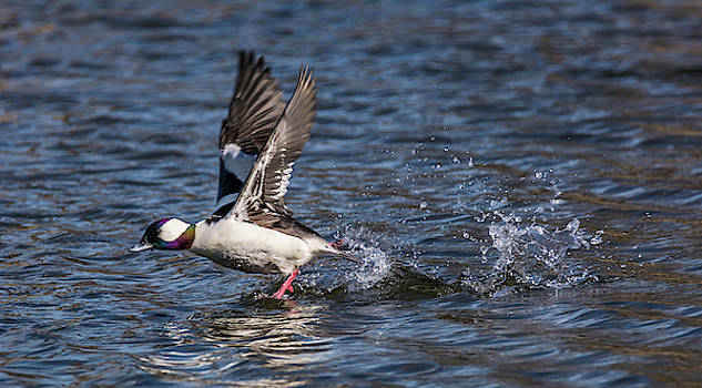 Splashy Take Off by Marv Vandehey
