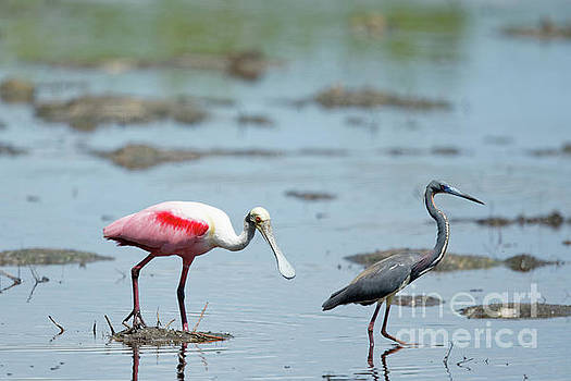 Spoonbill and Tricolor by Natural Focal Point Photography