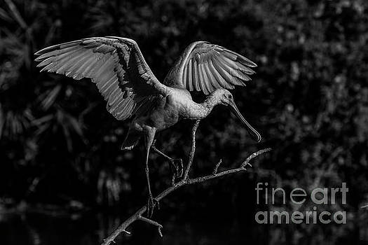 Spoonbill in Black and White by Blair Howell