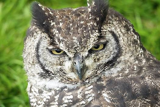 Spotted Eagle Owl  by James Lamb