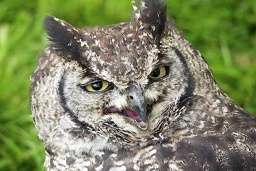 Spotted Eagle Owl spotted being not so stern by James Lamb