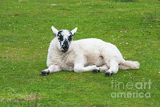 Bob Phillips - Spotted Faced Swaledale Sheep