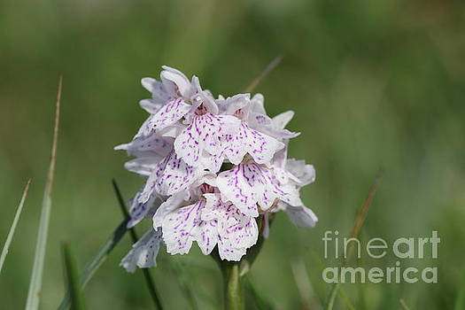 Spotted heath Orchid by Peter Skelton