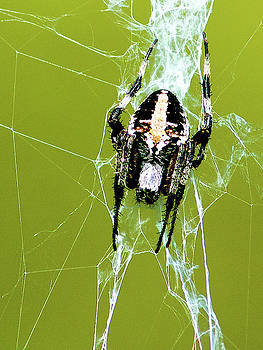 Spotted Orb-Weaver by Norman Johnson