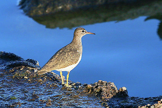 Spotted Sandpiper by Shoal Hollingsworth