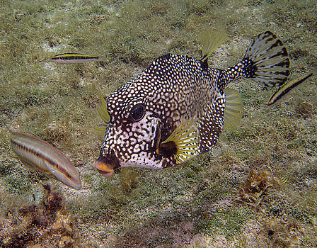 Jean Noren - Spotted Trunkfish