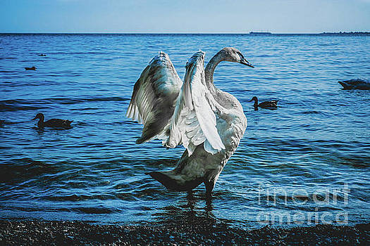 Spread Your Wings. Trumpeter Swan Photograph  by Stephen Geisel