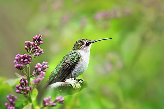 Spring Beauty Ruby Throat Hummingbird by Christina Rollo