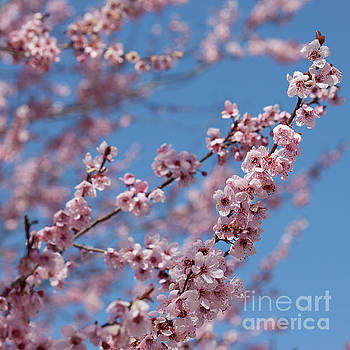 Spring Blossoms by Kristi Cromwell