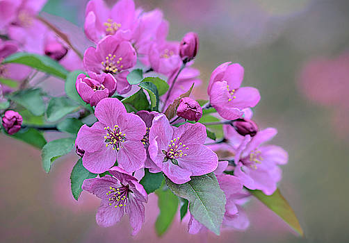 Spring Crab Apple Blooms by Mary Lynn Giacomini
