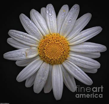 Spring Daisy  by Mitch Shindelbower