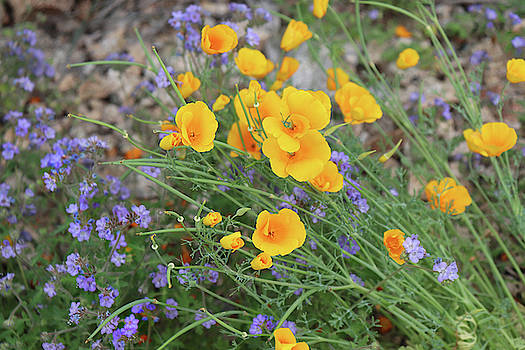 Spring Desert Flowers by David T Wilkinson