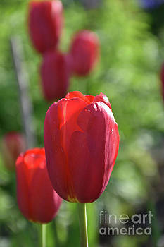 Spring Has Arrived with Red Tulips in Bloom by DejaVu Designs