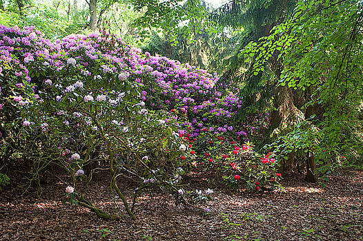 Jenny Rainbow - Spring Marvels. Lush Rhododendron Blooms 1