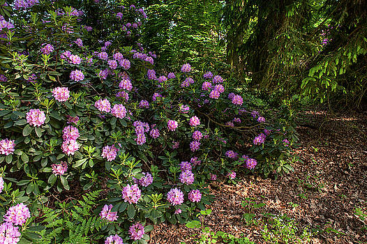 Jenny Rainbow - Spring Marvels. Lush Rhododendron Blooms